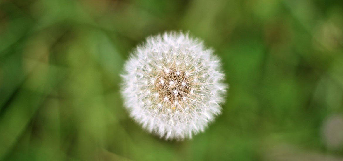 Dandelions are good for bees | Montagu Arms Blog